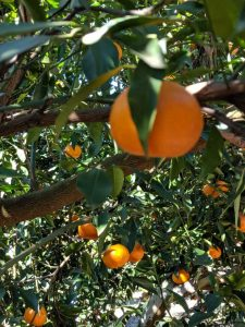 Mandarins at Watkins Family Farm