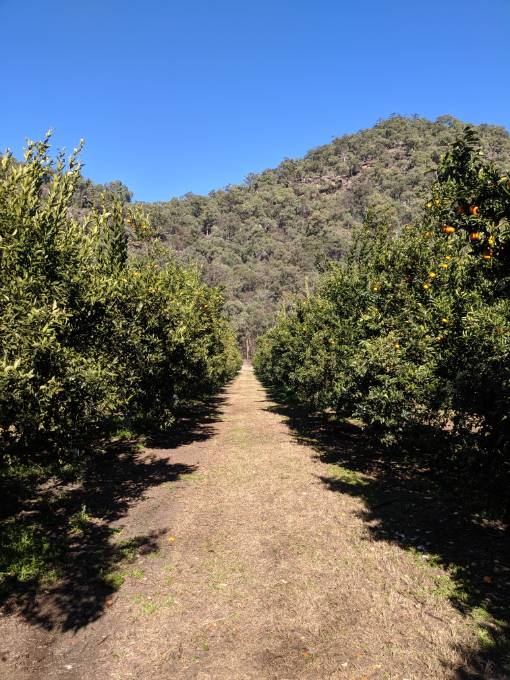 Mandarin trees at watkins family farm
